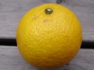 ゴールデンオレンジ.JPG